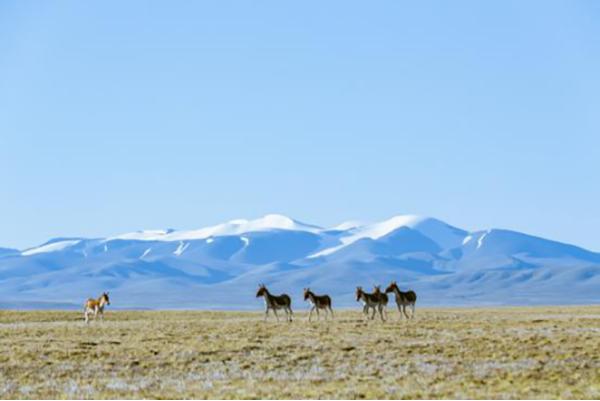 西藏林芝桃花节十四日自驾游-可可西里